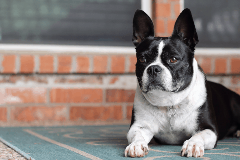 french bulldog blackandwhite