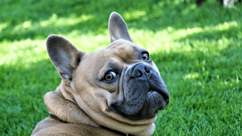 french bulldog closeup