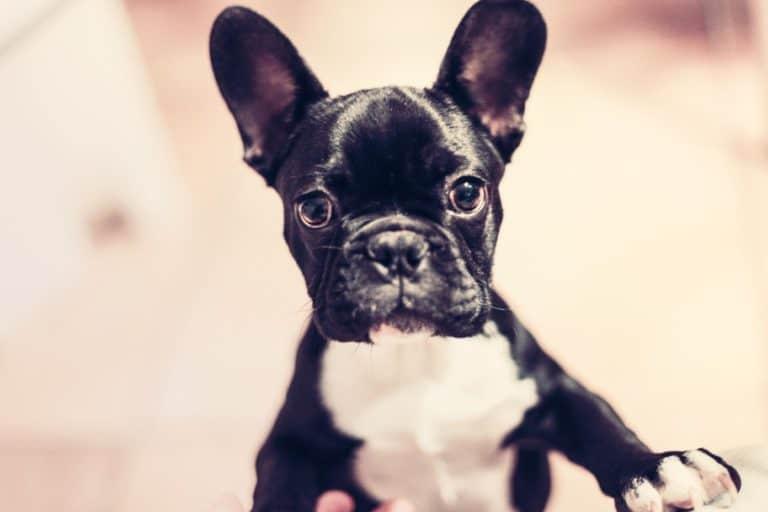 Buying A French Bulldog Puppy