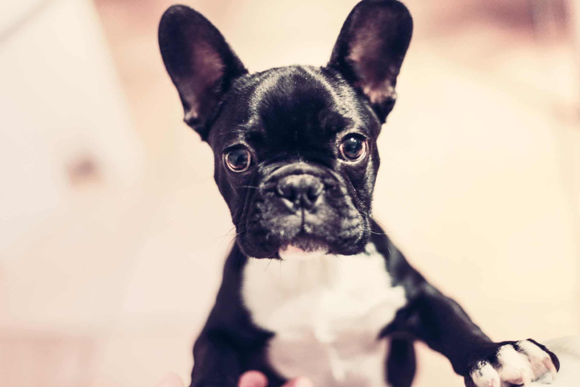 french bulldog cute featured