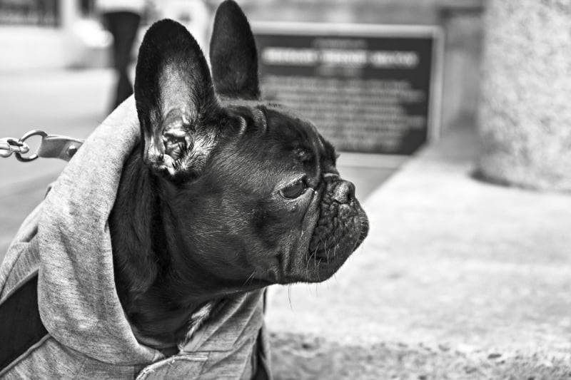 french bulldog in hoodie