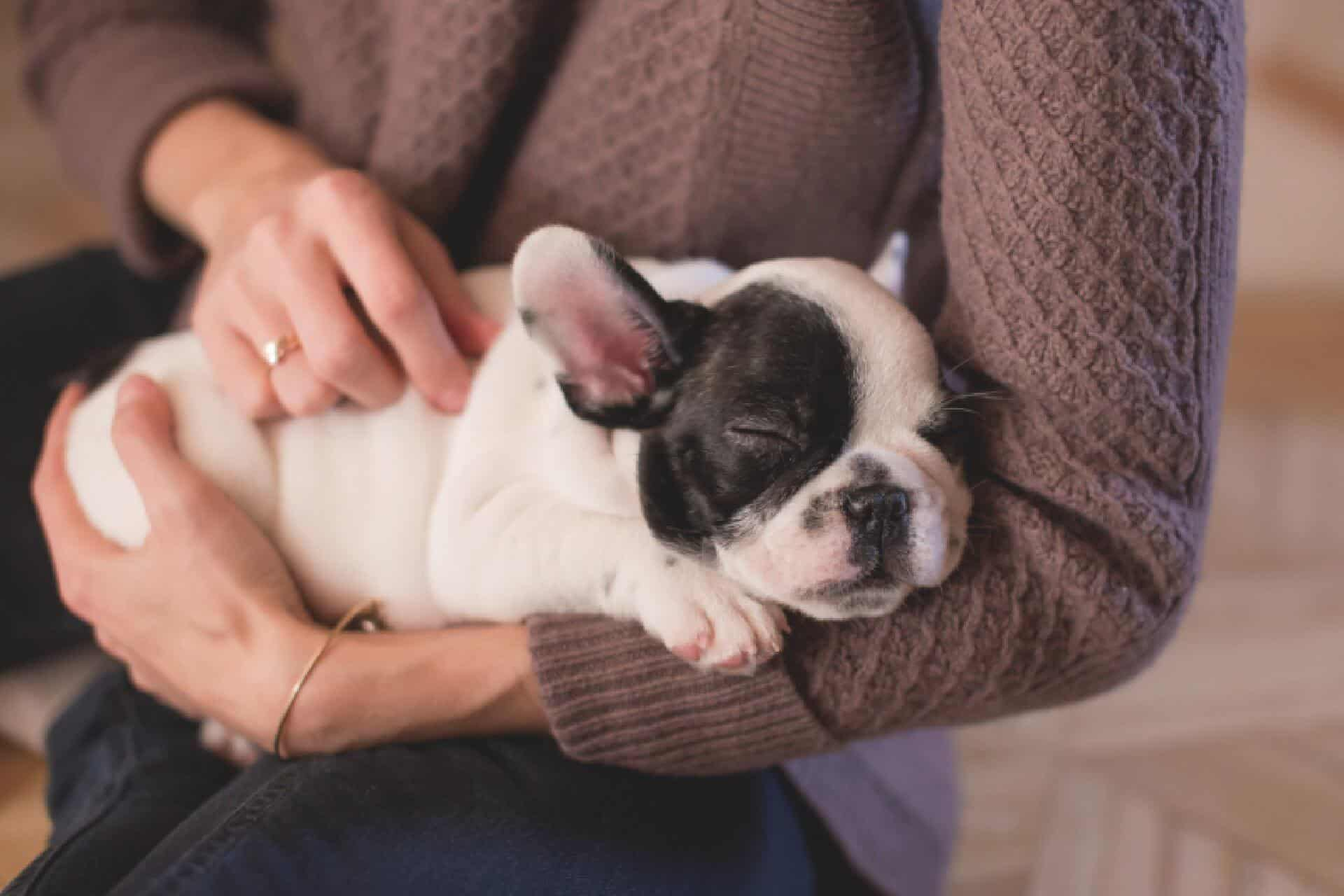 french bulldog sleeping